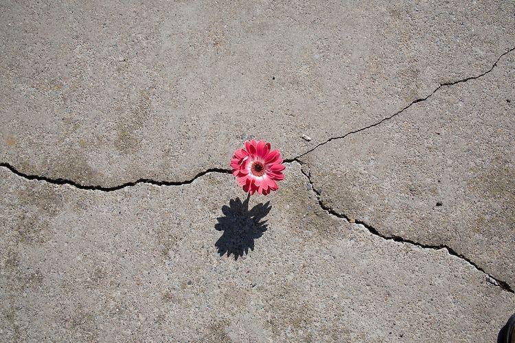 Fleur rose dans le bitume - Caractère Spécial Architecture